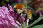 Moshumle (Bombus muscorum)